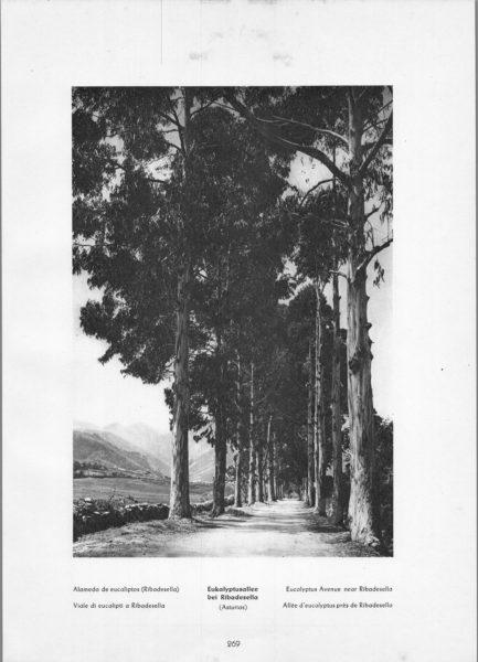 Photo 269: Asturias Ribadesella – Alameda de eucaliptos